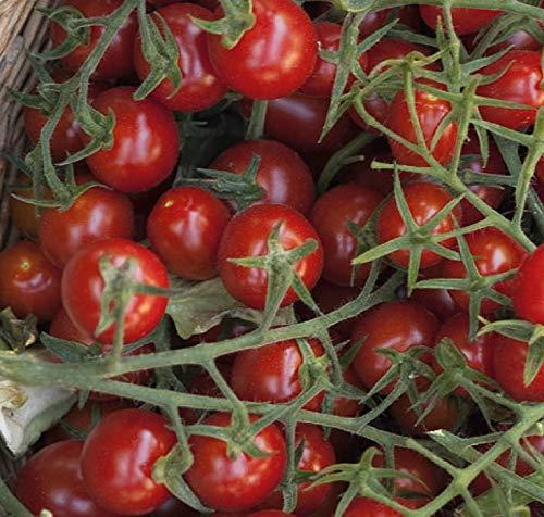 Tomaten Wildtomaten Rote Murmel Samen keine Hybride!
