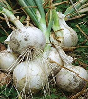 Super Star Onion Plants- Also Known as Sierra Blanca. Sweet, Bolt Resistant, Only White Onion Ever to Win The coveted AAS Award (30 Plants) by BasqueStore
