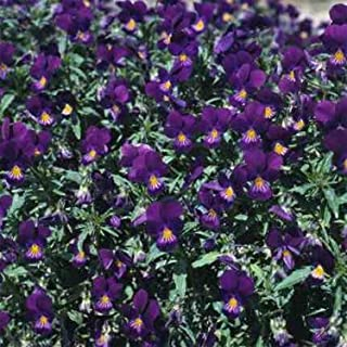 Outsidepride Viola King Henry - 1000 Seeds
