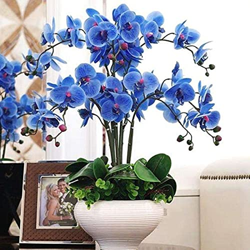 Oce180anYLVUK Semi di Phalaenopsis, fiori, semi di prato, 100 Pz/borsa Semi di Phalaenopsis Fiore di orchidea Piante bonsai Fioritura multicolore Indoor Outdoor Blue