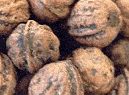 魚沼胡桃くるみ 露地物 無農薬 【くるみ(殻付き】 約2kg