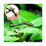 (熱帯魚)(水草)オトシンクルス(3匹) + おまかせブセファランドラ1株付きミニ流木(無農薬)(1個) 北海道・九州航空便要保温