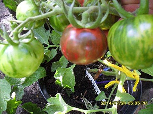 Black Zebra Tomate, aus dem Herzen von Ungarn!, von unserer ungarischen Farm samenfest, nur natürliche Dünger, KEINE Pesztizide, BIO hu-öko-01