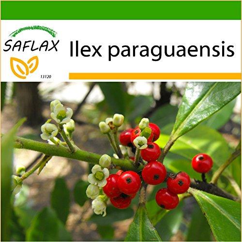 SAFLAX - Mate - Teestrauch - 10 Samen - Mit keimfreiem Anzuchtsubstrat - Ilex paraguaensis