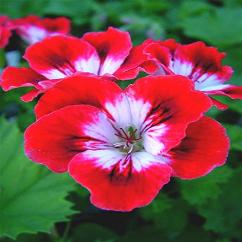 20 particules / Lot Jardin Géranium Graines Pelargonium Fleurs vivaces intérieure Graine Chambre * Jardin Décoration Halloween Flower Pot