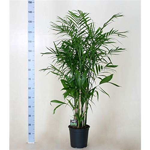 Chamaedorea seifrizii 140-160 cm Bambuspalme Zimmerpflanze