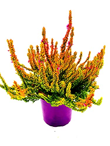 Calluna vulgaris Knospenheiden Winterheide Garden Girls