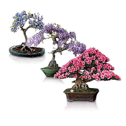 Flowering Bonsai Tree Seeds Bundle - 3 Types, All Flowering Tree Seeds, Vibrant Colors - Chinese Wisteria, Judas Tree, Blue Jacaranda