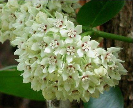 100pcs / sac Vente Hot arc Hoya Rare Graines Outdoor Blooming Bonsai plantes en pot de fleurs Maison et Jardin Livraison gratuite 17