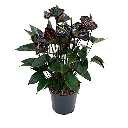 Anthurium andreanum | Schwarze Flamingoblume | Höhe 55-60cm | Topf-Ø 17cm