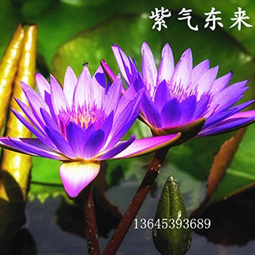 mehrjährig winterhart Samen,Schüssel Lotus Seerose Lotus Samen Indoor Topf grüne Pflanze Blume-N_20 Kapseln,Samen für Ihr Garten Balkon
