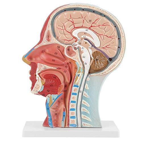 Modelo anatómico del cráneo del adulto humano, modelo de estudio de la sección mediana de la cabeza del cuello del cerebro anatómico médico de tamaño natural