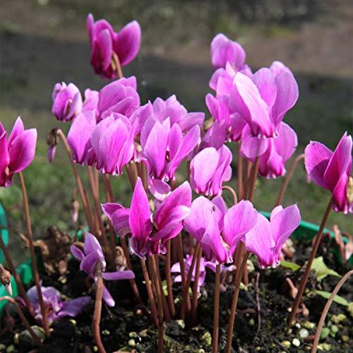 Yukio Samenhaus - 10pcs Raritäten Duft-Herbst-Alpenveilchen Blumensamen Mischung winterhart mehrjährig für Steingärten/Töpfe