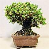 getso 100pcs / lotto palle di ginepro giapponese cedro bonsai purificano l'aria assorbono i gas nocivi, piante giardino di casa fai da te, molto facile da coltivare: 2