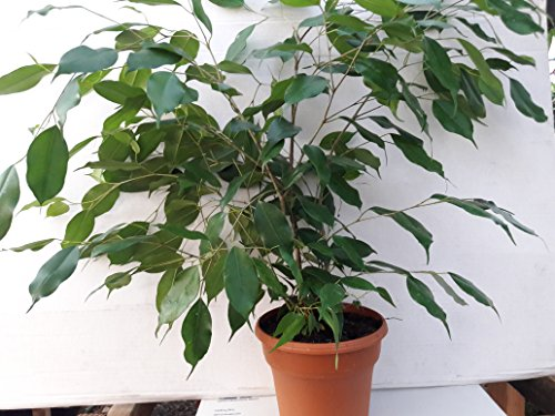 Jmbamboo- 6'' pot Weeping Fig Tree - Ficus Benjamina - Easy to Grow