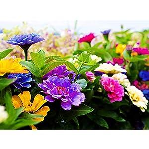100 Pcs Mixed Zinnia Zahara Raspberry Lemonade Flower Seed Bonsai Decoration-Non GMO