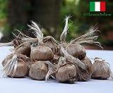 Bulbi di Zafferano ITALIANO (Crocus sativus) circonferenza 10/+ cm - PREVENDITA - BUONO D'...
