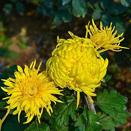 100 Stück Chrysantheme Samen Gelbe...