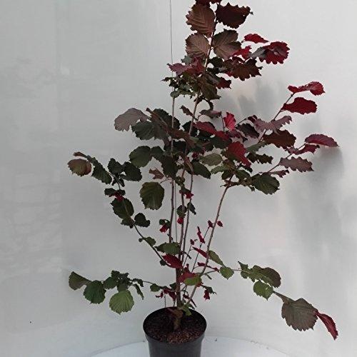 Grüner Garten Shop Haselnuss Maxima purpurea, sehr schönes rotes Laub, als dreijähriger Strauch, ca. 120-150 cm