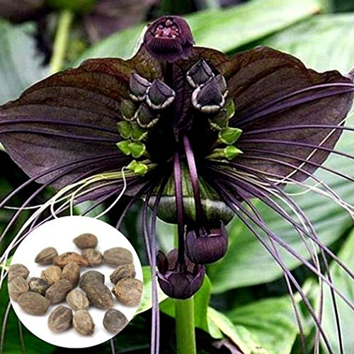 Pinkdose Potato001 10Pcs Funny Rare Black Bat Tacca Chantrieri Whiskers Flower Seeds Garden Plants