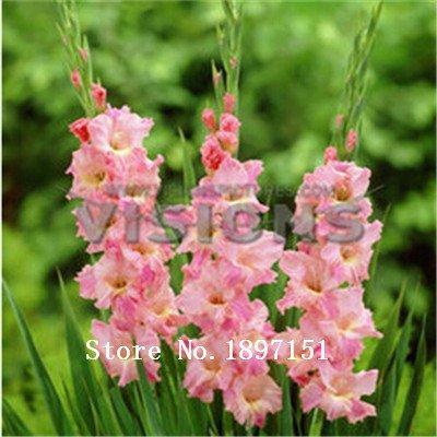 Big vente Différentes vivaces Graines Gladiolus fleurs, 1 Professional Pack, 500 graines / Pack, Rare Seeds Epée Lily