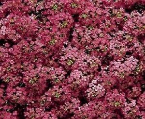 100 Samen von Alyssum Wonderland Tief Rose Bodendecker