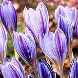 Anitra Perkins - 50 Stück Großblumige Safrankrokus Samen Herbstkrokus herbstblühend Elfenkrokus Gartenkrokus Saatgut für wundervolle Blütenteppiche (1)