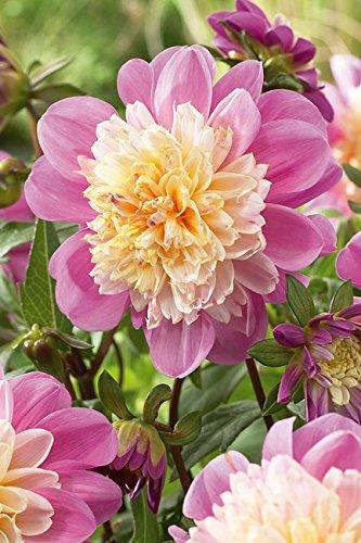 Lemo Gartendesign Anemonenblütige Dahlie `Take Off` (Dahlia Anemonenblütig `Take Off`, 1 Stück)