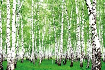GREAT ART Fotomurale – Foresta di Betulle – Alberi Forestali Decorazione da Parete Natura Paesaggio Verde Carta da Parati Nordic Forest Foresta Nordica 210 x 140 cm