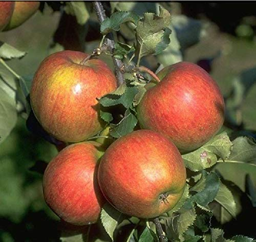 Jonagold Apfel Apfelbaum Obstbaum...