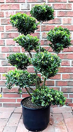 Gartenbonsai, Höhe: 110-120 cm, Ilex...