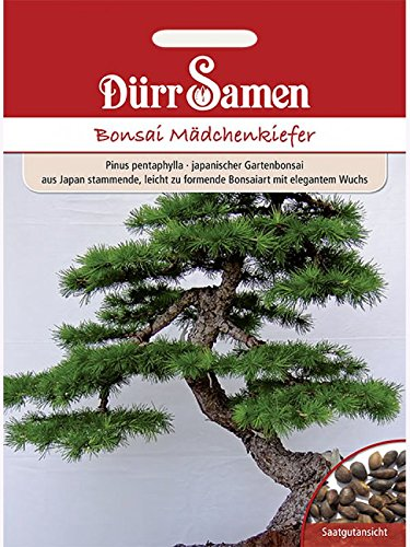 Bonsai-Samen Mädchen-Kiefer