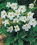 Gartengloxinie in weiß Incarvillea Delavayi Snowtop Freilandgloxinie (Große Knollen) Blumenzwiebeln (5 Knollen)