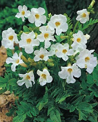 Gartengloxinie in weiß Incarvillea...