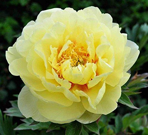 Neue Ankunft! Eine Vielzahl von Farben und seltene Chinesische Pfingstrose Samen Einpflanzen von Blumen und Garten Paeonia Suffruticosa Seeds 20 PCS G58 Gelb