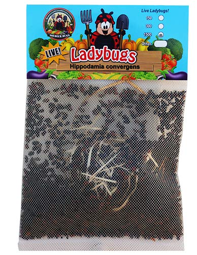 Bug Sales 1500 Count Ladybugs for Garden