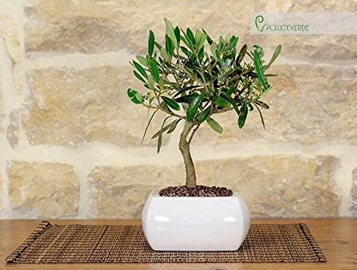 Olivo Bonsai en una maceta cuadrada blanca