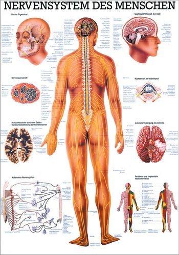 Ruediger Anatomie TA05 Nervensystem des Menschen Tafel, 70 cm x 100 cm, Papier