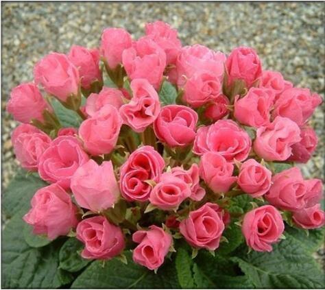 Rose graines Primula 50pcs rares graines de fleurs de bonsaïs d'intérieur pétales doubles graines Primrose de plantes en pot en plein air pour le jardin de la maison 2