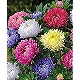 アスター、カリフォルニアジャイアンツ500個の種子オーガニック、美しい鮮やかな明るいブルーム