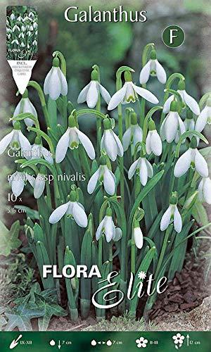Flora Elite 462009 Schneeglöckchen (10 Stück) (Schneeglöckchenzwiebeln)