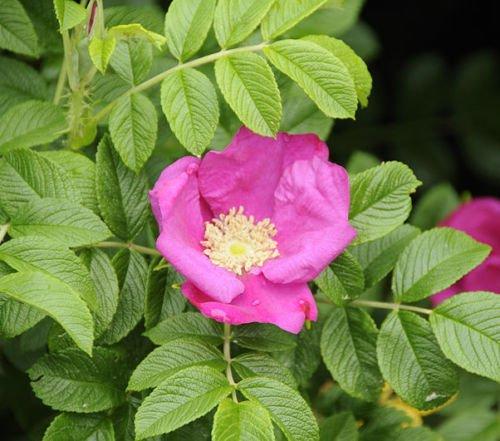 SVI - Rosensamen & -pflanzen