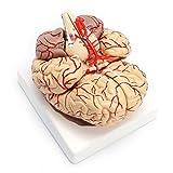 <span class='highlight'><span class='highlight'>SODIAL</span></span> 1: 1 Life Size Human Anatomical Brain Pro Dissection Medical Organ Teaching Model