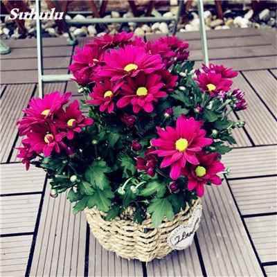 Grosses soldes! 50 Pcs Daisy Graines de fleurs crème glacée parfum de fleurs en pot Chrysanthemum jardin Décoration Bonsai Graines de fleurs 3
