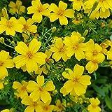 Tagetes - Golden Marigold - 100 seeds - tenuifolia Lulu