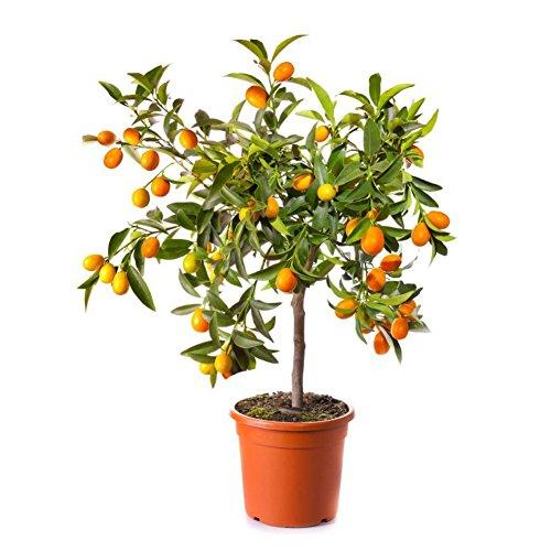 Doubleer 30 Pcs Jaune Lemon Tree Fruit Graines D'intérieur Graines Organiques En Plein Air