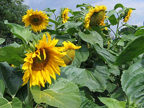 Giant Sunflower Seeds - Kids Growing Competitions - British Seed - Grow...