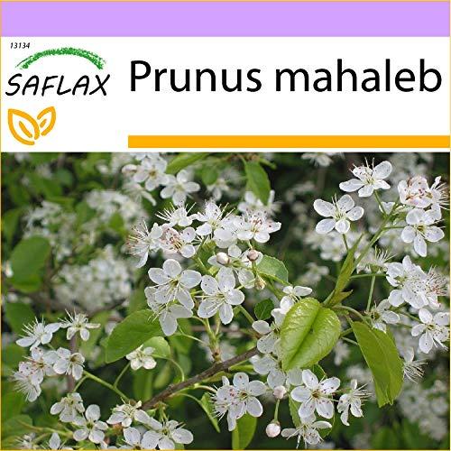 SAFLAX - Cerisier de Sainte-Lucie - 30 graines - Prunus mahaleb