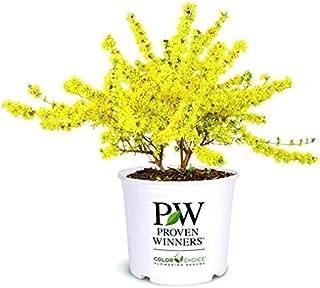 Best forsythia bushes for sale Reviews
