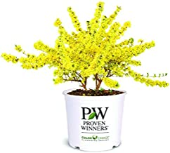 Best large forsythia for sale Reviews